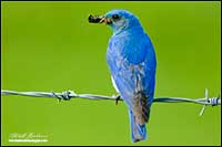 Mountain bluebird with insect on barb wire fence by Robert Berdan