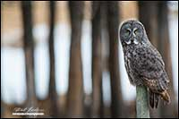 Great Gray owl on fence post in Alberta by Robert Berdan