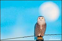 Female snowy owl on telephone pole with full moon behind in Alberta by Robert Berdan