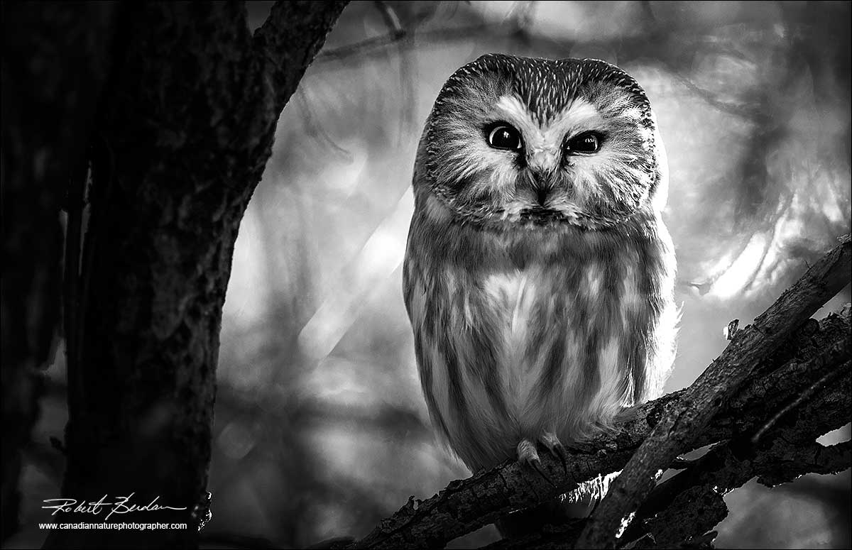nature owl photographer canadian blackwhite