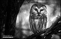 Black and white Saw Whet Owl by Robert Berdan