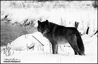 Black and white photo of wolf (captive) in winter by Robert Berdan