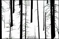 Black and white photo of burnt trees in Kootenay National Park by Robert Berdan