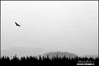 Black and white photo of eagle in oncoming snow squall Banff National Park by Robert Berdan