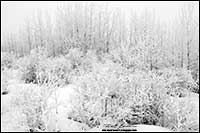 Black and white photo of hoar frost on trees north of Calgary by Robert Berdan