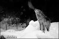 Black and white photo of wolf (captive) howling in winater by Robert Berdan