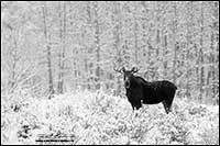 Black and white photo of moose in winter north of Calgary by Robert Berdan