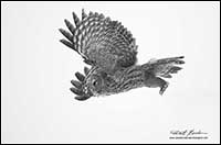 Black and white photo of Great Gray Owl in flight by Robert Berdan