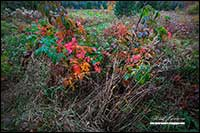 Colourful shrubbery in field in Ontario by Robert Berdan