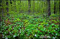 Trilliums in springtime in Ontario forest by Robert Berdan