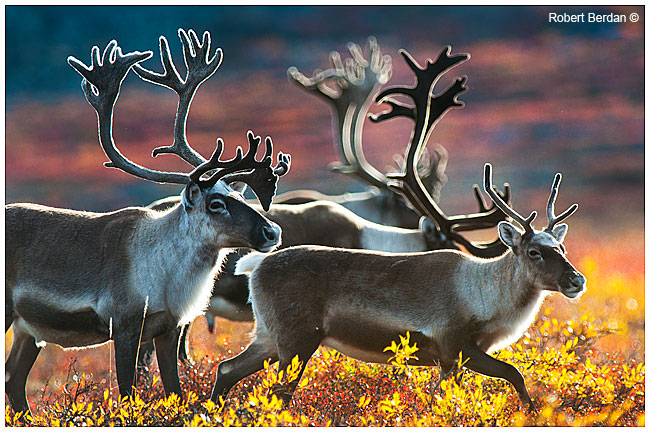 The Canadian Nature Photographer Chasing Caribou And The