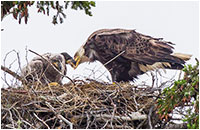 Mealtime a the nest of a Bald Eagle by Dr. Dale Mierau ©