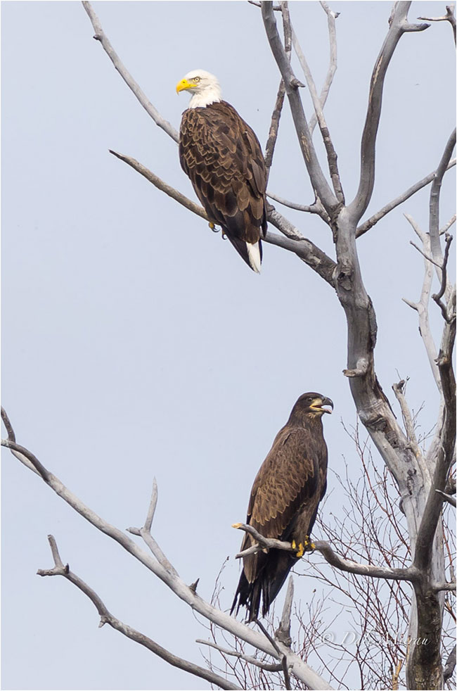 Adult and immature bald eagles by Dale Mierau ©