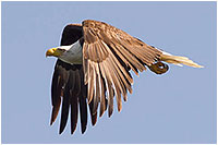 Eagle in flight by Dr. Dale Mierau