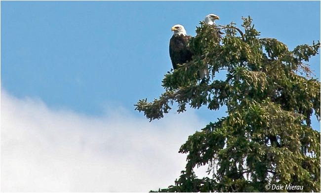 Bald Eagles by Dale Mierau ©