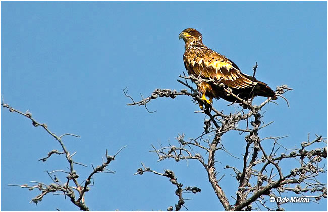 Immature bald eagle by Dale Mierau ©