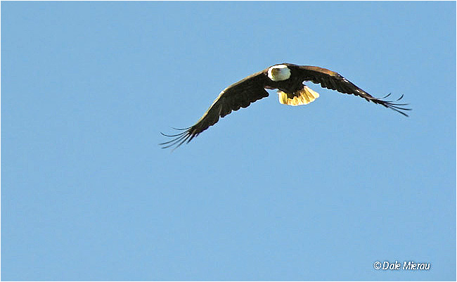 Bald Eagle in Flight by Dale Mierau©