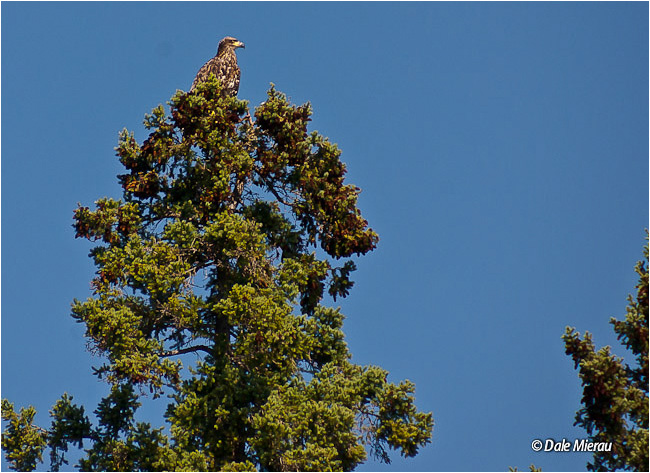Eagle at top of Tree by Dale Mierau ©