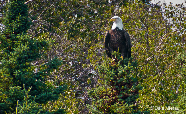 Bald Eagle by Dale Mierau ©