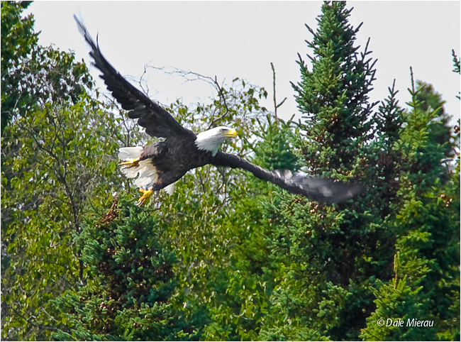 Eagle in Flight by Dale Mierau ©