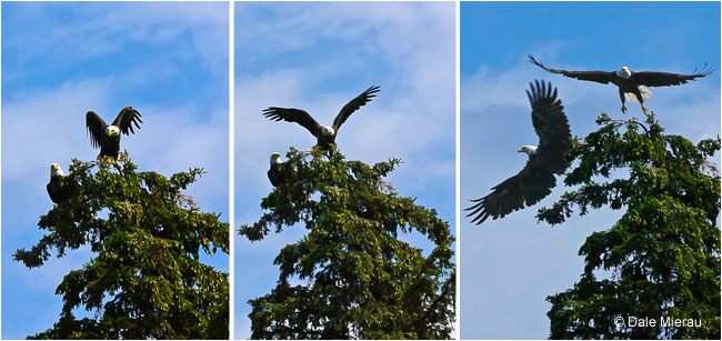 Eagle sequence by Dale Mierau ©