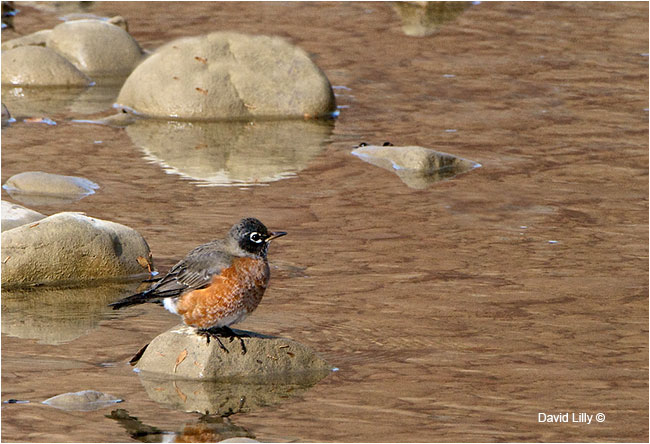 American Robin by David Lilly ©