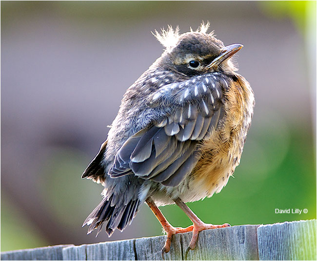 Young robin by David Lilly ©