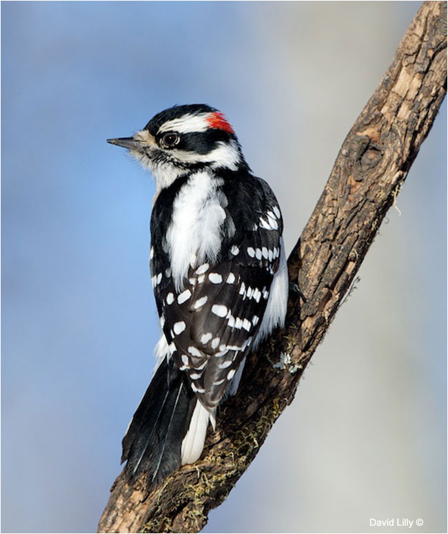 Downy Woodpecker by Dave Lilly ©
