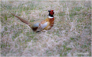 Ring-necked Pheasant in grass by David Lilly ©