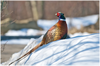 Pheasant photography by David Lilly ©