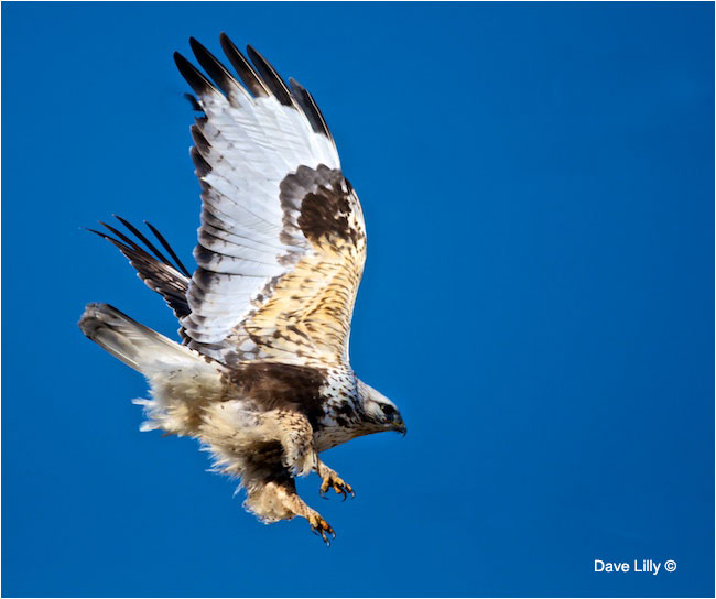 Rough-legged Hawk by Dave Lilly