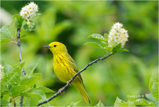 Yellow Warbler by David Lilly ©