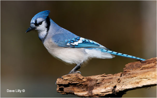 Blue Jay by Dave Lilly ©