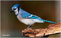 Blue jay by David Lilly ©