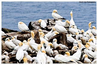Gannets on Rocks by Dave Lilly ©
