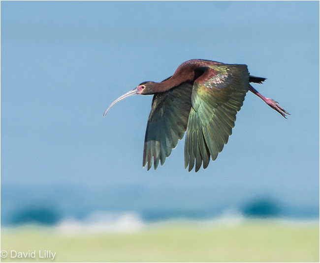 White-faced Ibis by David Lilly ©