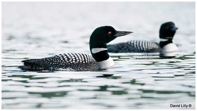 Common loons by David Lilly ©