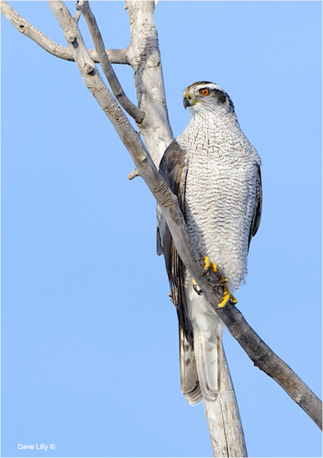 Northern Goshawk by Dave Lilly ©