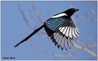 Magpie by David Lilly ©