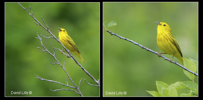 Yellow warblers b y David Lilly ©