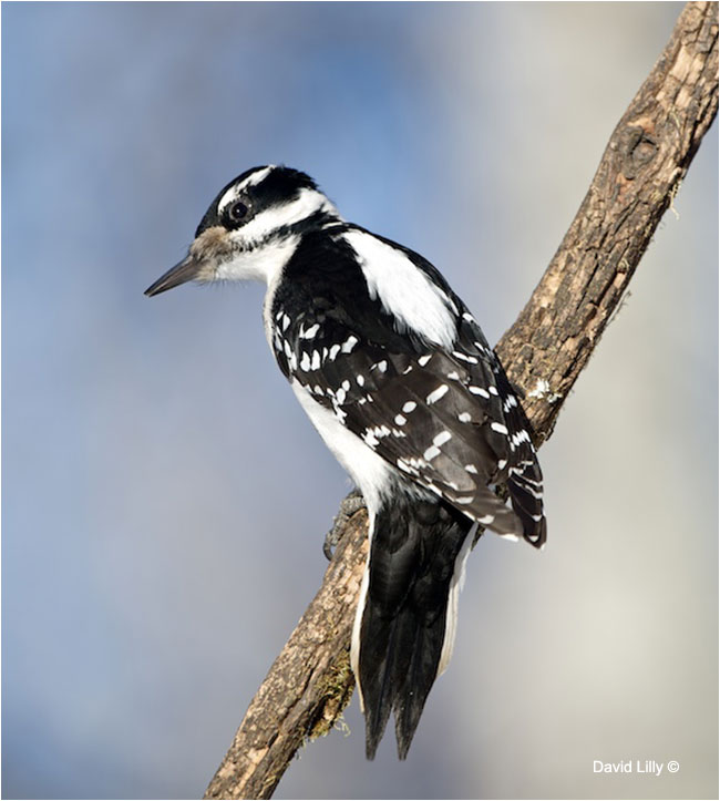 Hairy Woodpecker by Dave Lilly ©
