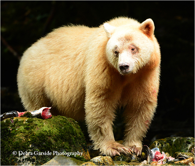 Highly Intelligent And Curious They Command Respect Wherever Roam The Kermode Bear Otherwise Known As Spirit Moves