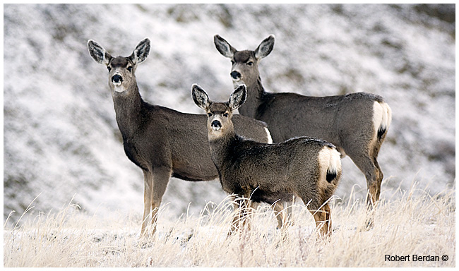 Mule Deer in winter Dinosaur provincial park Alberta by Robert Berdan ©