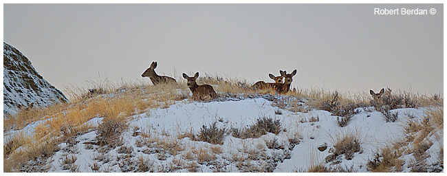 Mule deer in winter by Robert Berdan ©
