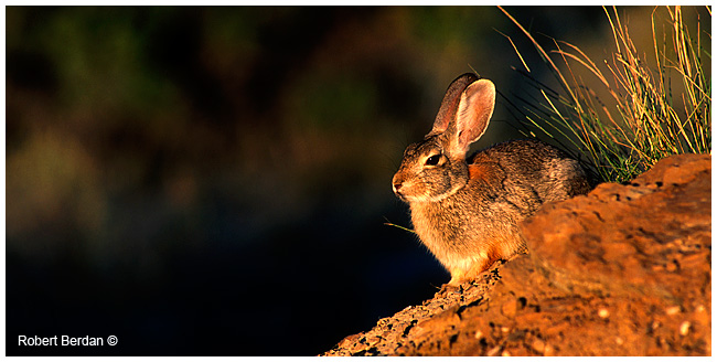 Nuttall's cottontail rabbit by Robert Berdan ©