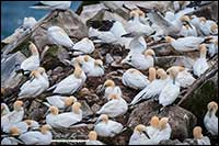 Northern Gannets Capt St. Mary's Newfoundland by Robert Berdan