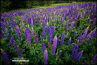 Purple Lupines New Brunswick by Robert Berdan