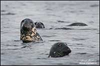 Harbour seals Nova Scotia by Robert Berdan