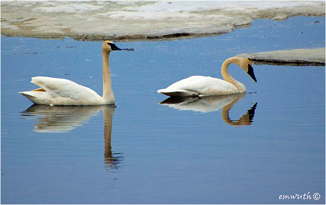 Trumpeter Swans by Egan Wuth ©
