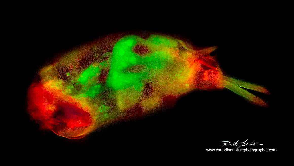 Rotifer Euchlanis species stained with acridine orange 200X fluorescence microscopy by Robert berdan